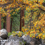 Oak in Fall Colors