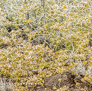 Morning Frost on Young Aspens