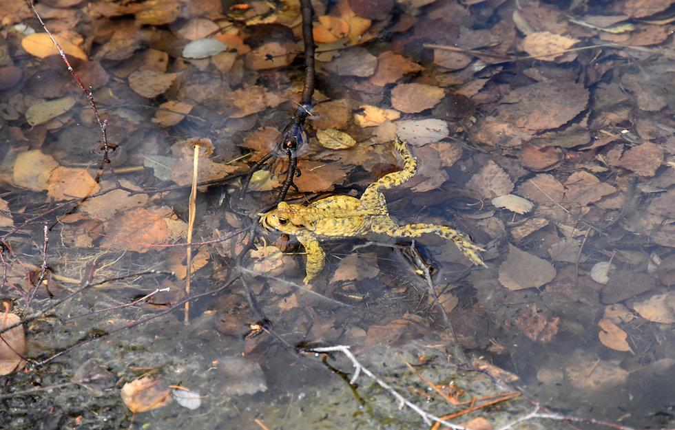 Chamonix - Rochers des Mottets - grenouille