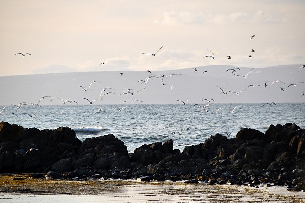 Islande - péninsule de Vatnsnes - Illugastadir - Sternes Arctiques