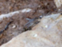 Grand Canyon National Park Rim Trail lézard