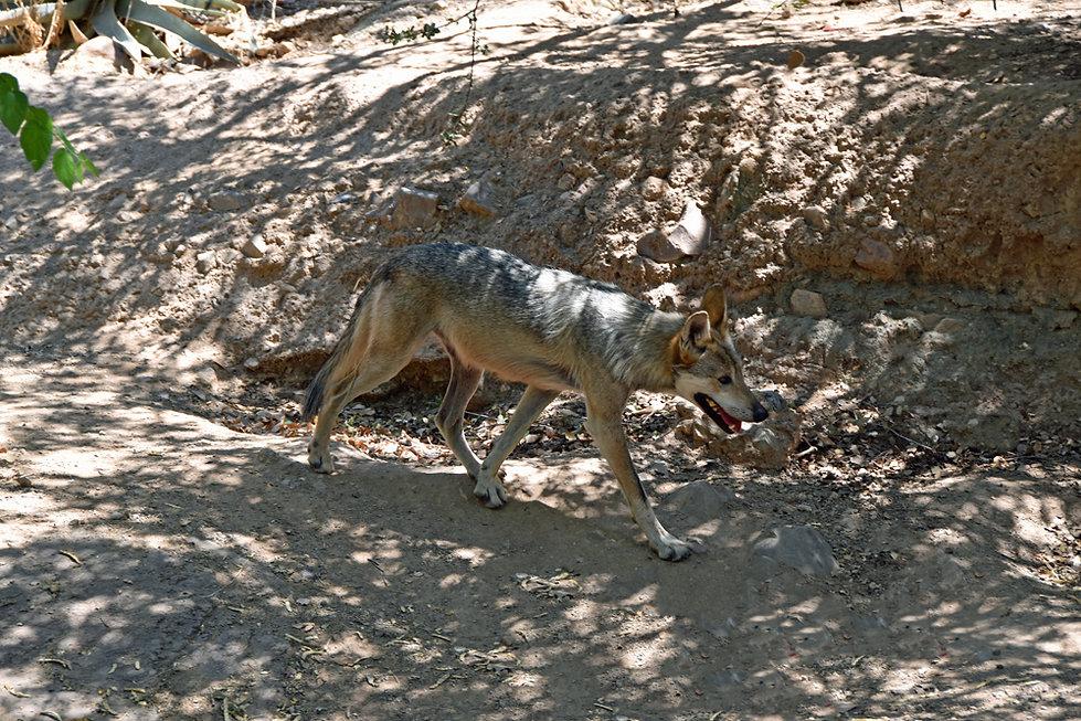 Arizona Sonora Desert Museum - loup du Mexique