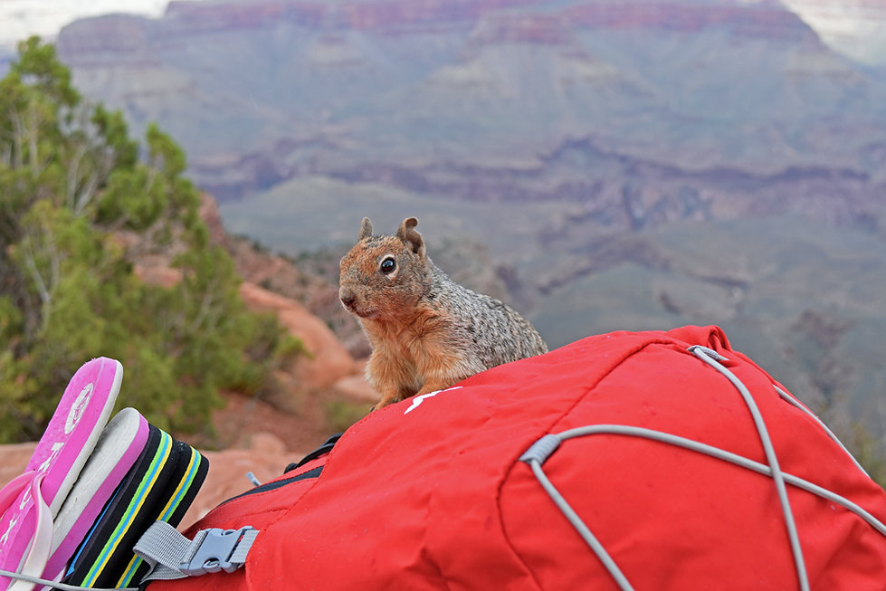 Arizona - Grand Canyon National Park - South Kaibab Trail - ecureuil