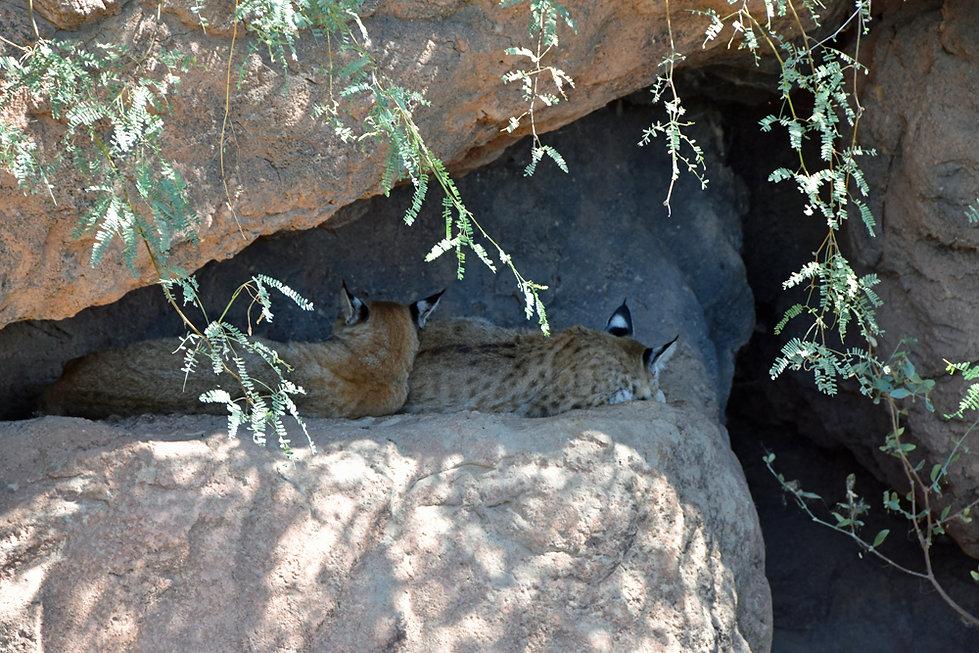 Arizona Sonora Desert Museum - lynx