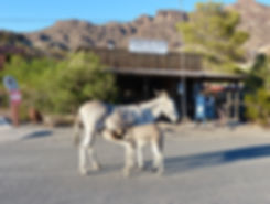 Route 66 Oatman mules