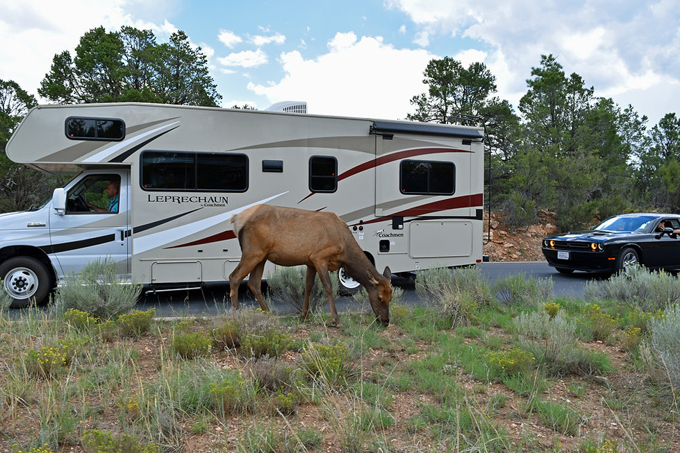 Grand Canyon National Park - Elk