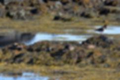Islande péninsule Snaefellsnes Ytri Tunga eiders hutrier pie