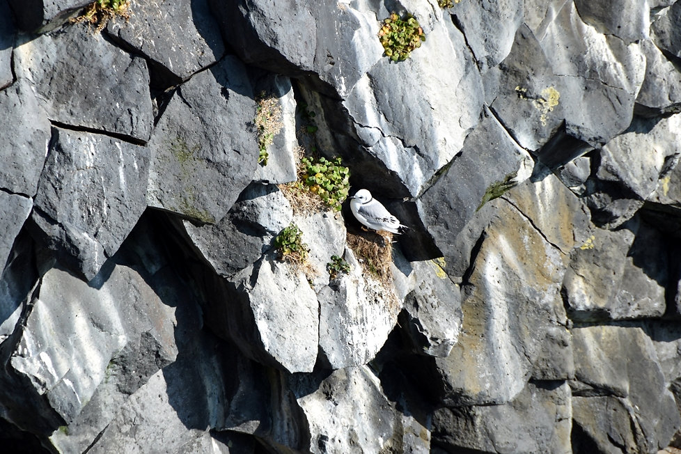 Islande arnarstapi oiseau mouette trydactyle
