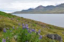 Fáskrúdsfjördur fjord est east lupins fleurs islande iceland