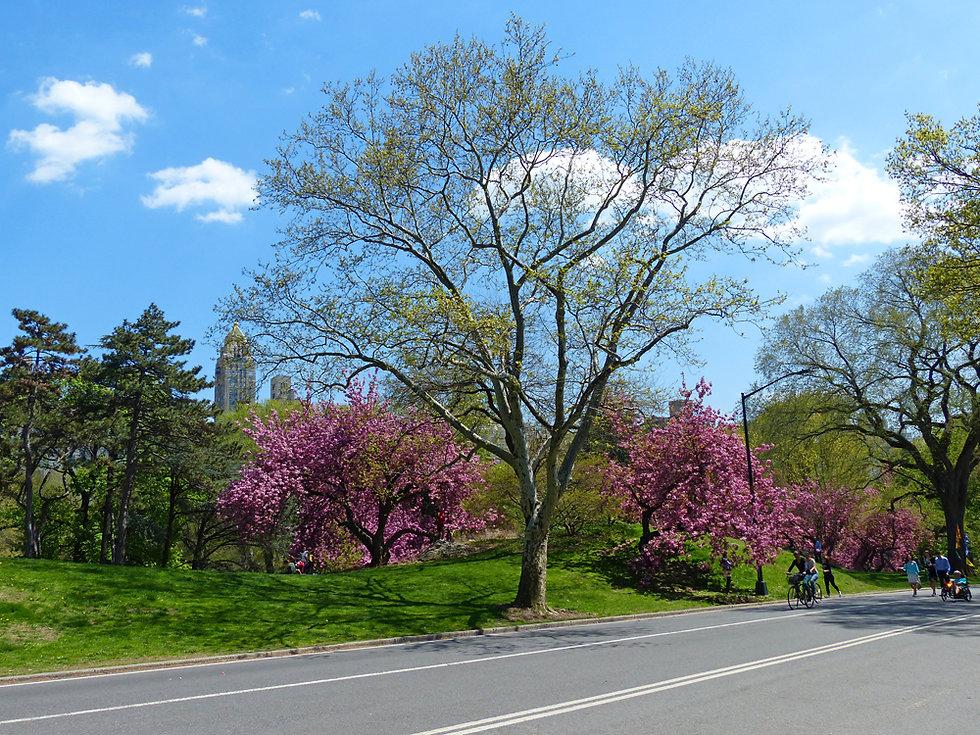 New-York - Central Park - Cherry Blossom