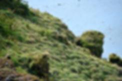Dyrhólaey puffins macareux
