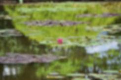 villa taranto verbania jardin fleur lotus