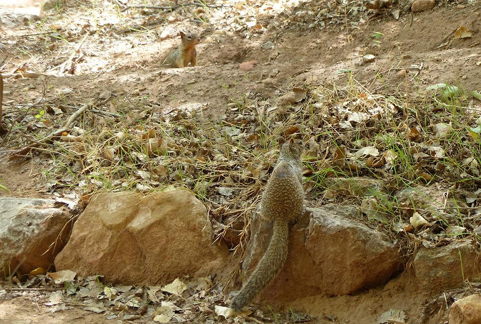 Arizona - Grand Canyon National Park - Bright Angel Trail - Indian Garden - ecureuils