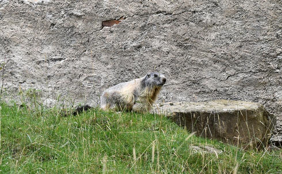 Chamonix - les Houches - Parc de Merlet - Marmotte
