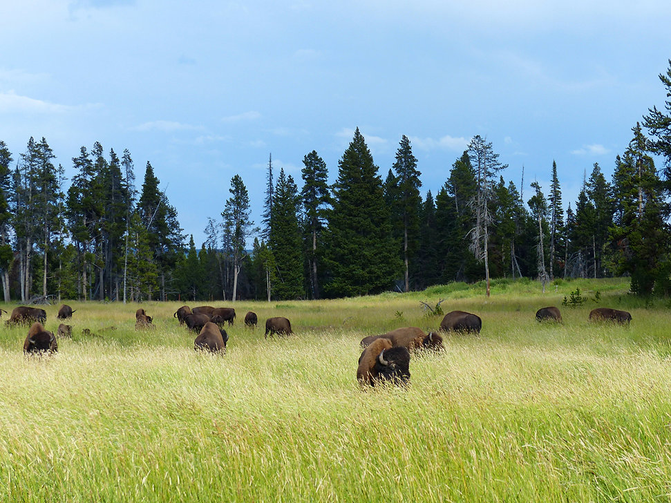 Yellowstone National Park Bisons