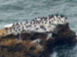 Point Reyes National Seashore - cormorans