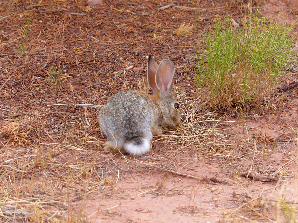 Dead Horse Point State Park lapin