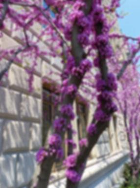 New-York - Arbre fleuri