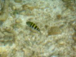 Grand cul de sac marin - île la biche - poisson sergent
