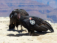 Grand Canyon National Park condor de californie
