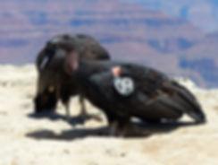 Grand Canyon National Park condor de californie