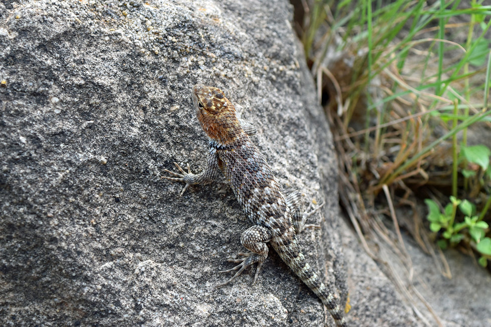 Arizona - Grand Canyon National Park - Bright Angel Trail - lezard