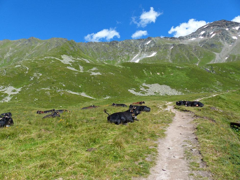 Chamonix - Refuge Albert 1er - troupeau vaches