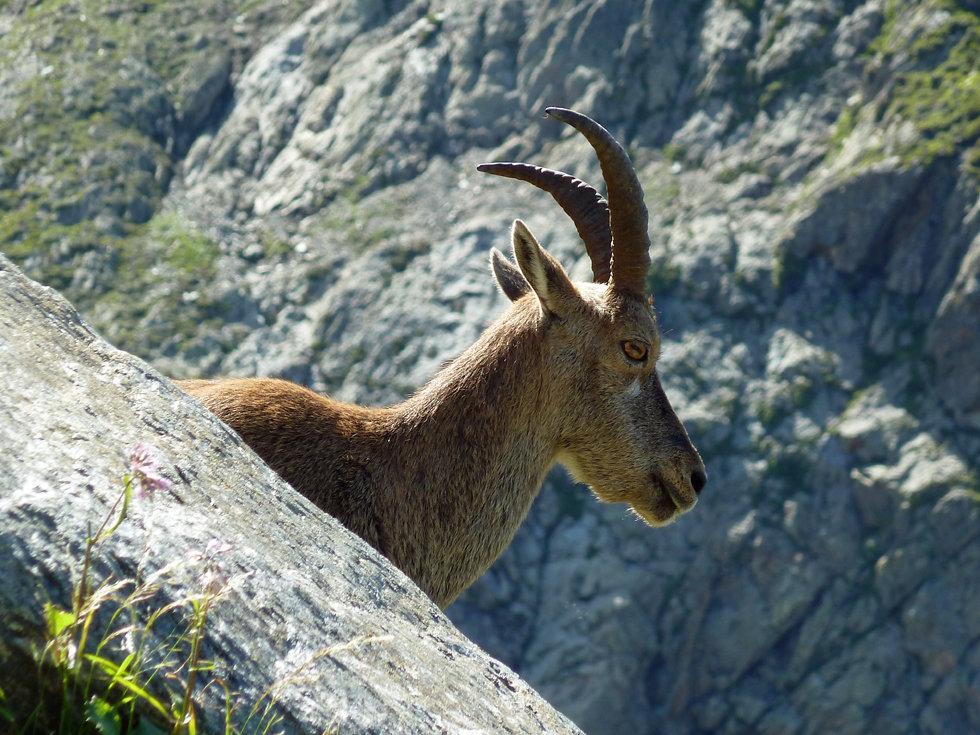 Chamonix - les Houches - Randonnée - Nid d'Aigle - Bouquetin