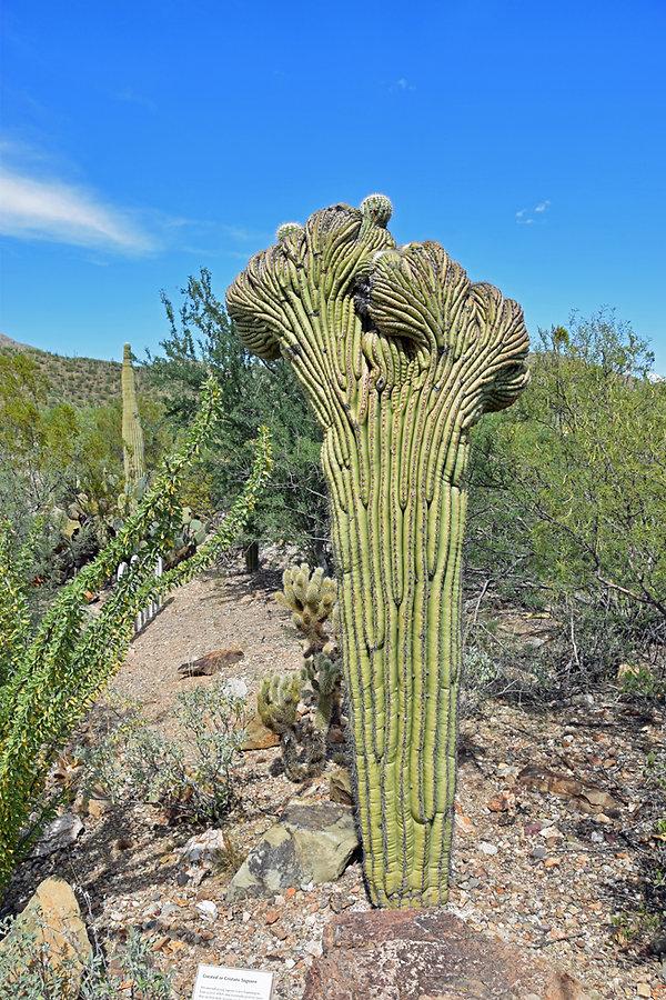 Arizona Sonora Desert Museum - Crested Saguaro
