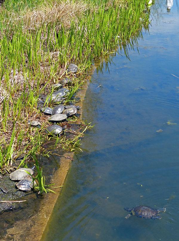 New-York - Central Park - Turtle Pond