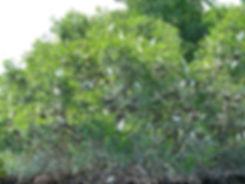 Grand cul de sac marin - mangrove - aigrettes