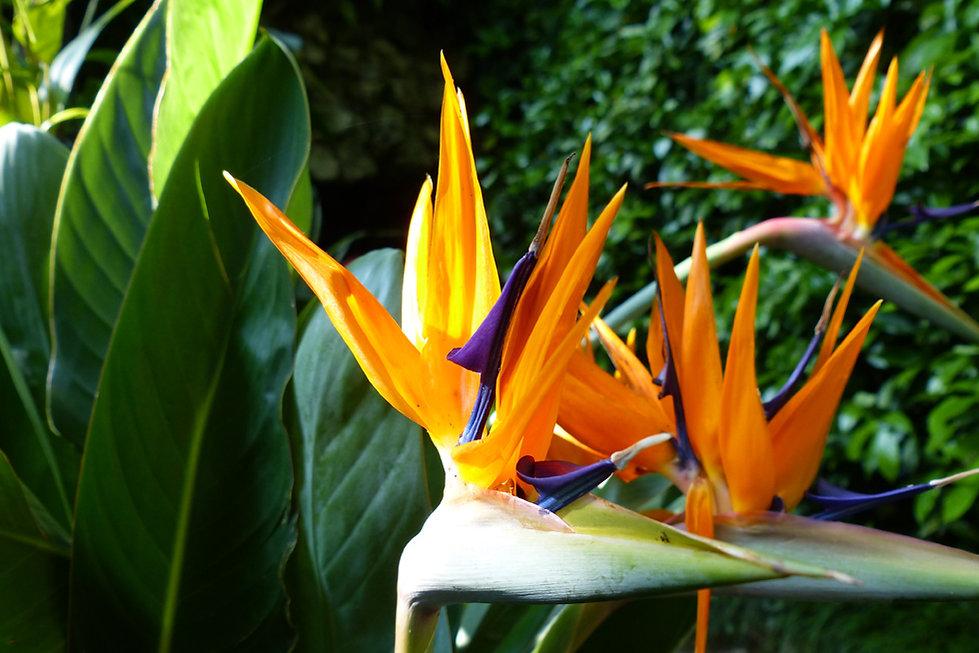 ac de côme villa carlotta jardin oiseau de paradis