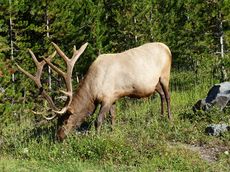 Yellowstone National Parc elk