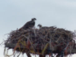 Wyoming nid Osprey
