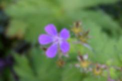 islande fleur iceland flower violette