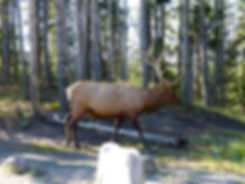 Yellowstone National Parc Elk