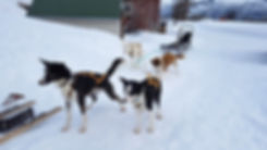 Norvège - alpes de lyngen - Team lyngen - chien de traineau