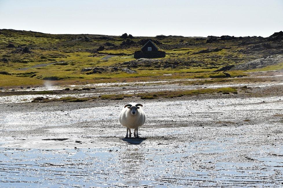 Islande zone géothermique Hveravellir mouton