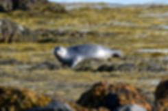 Islande péninsule Snaefellsnes Ytri Tunga phoque