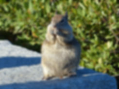 Yosemite National Park ecureil