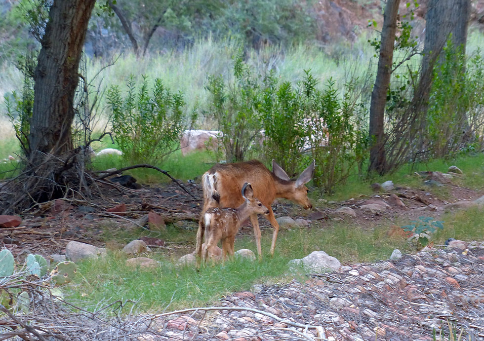 Arizona - Grand Canyon National Park - Bright Angel Campground - biche - faon