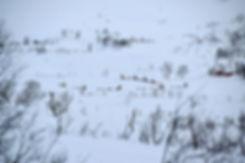 Norvège - Kvaløya - chien traineau
