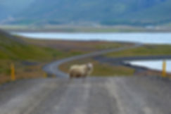 fjord est islande east iceland mouton route sheep road piste