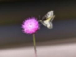 Grand Teton National Park papillon