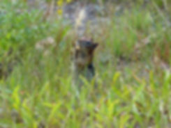 Yellowstone National Park ecureuil squirrel