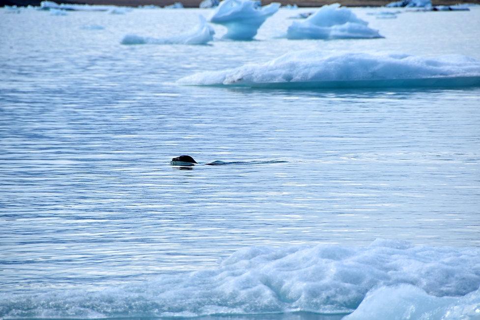 Jokulsarlon iceberg lac glacaire Jökulsárlón phoque