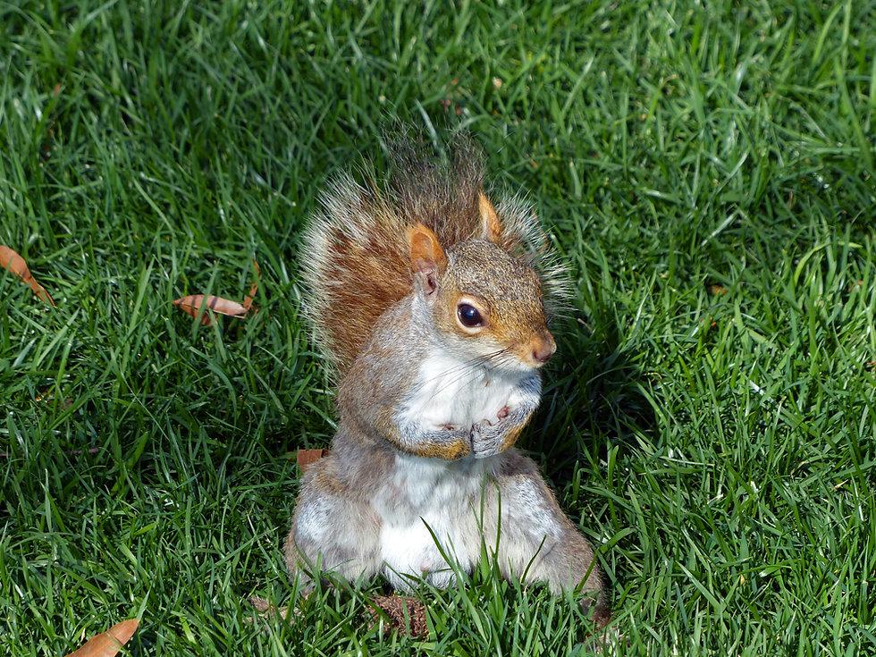 New-York - ecureuil