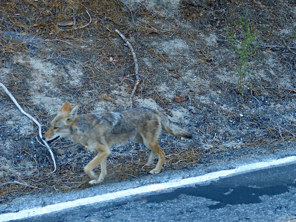 Yosemite National Park coyote