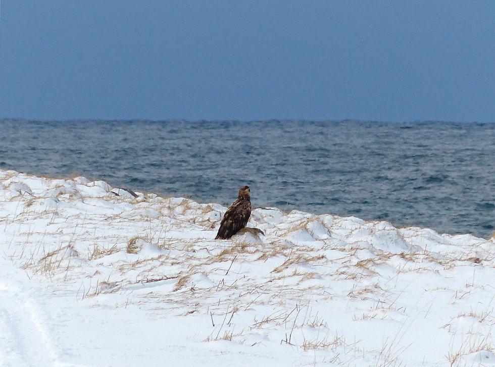 Norvège - Vestvågøya - Eggum - aigle pêcheur