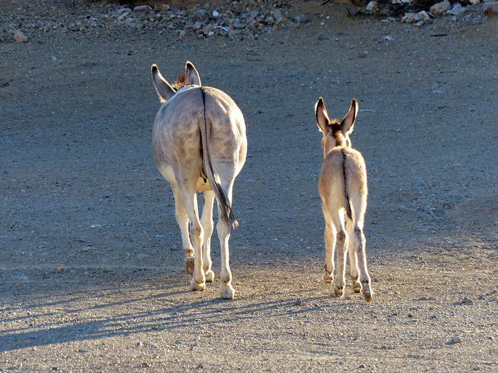 Route 66 Oatman mules